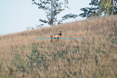 An Elk spotted during our 2013 Fall Photography Workshop in Kentucky.