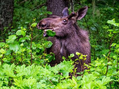 6.17.2018 Obligatory moose photo
