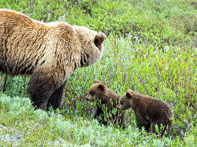6.18.2018 Obligatory grizzly photo - with two cubs for extra credit.