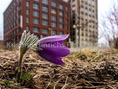 4.17.2019 First Pasque flower