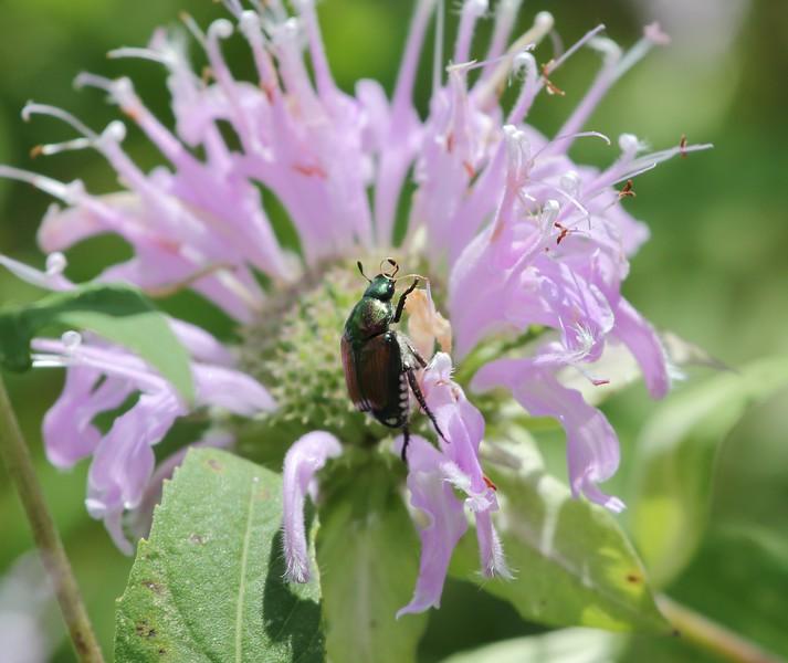 Day 589 - Beetle Mania