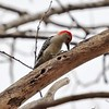 Day 476 - Red Letter Day (Red-bellied Woodpecker)