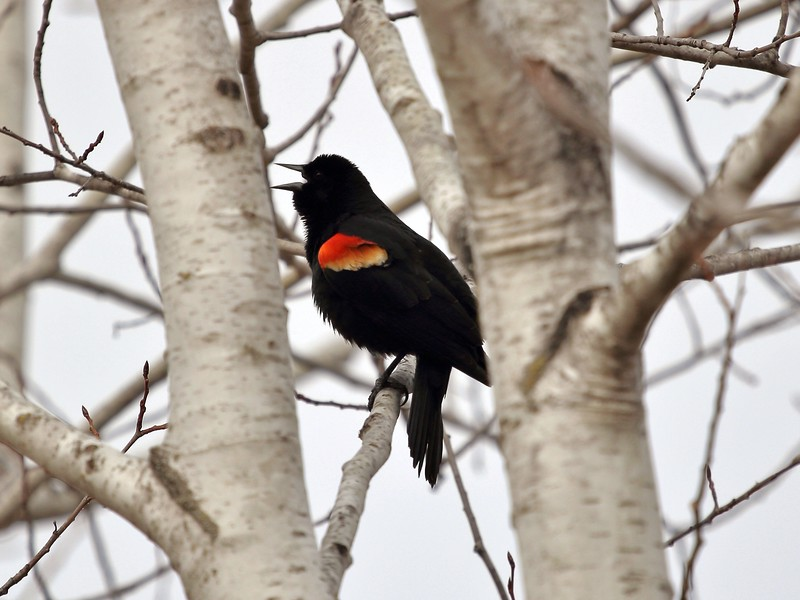 Day 476 - Red Letter Day (Red-winged Blackbird)