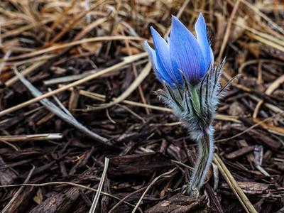 4.6.2020 First Pasque Flower (aka Easter flower)