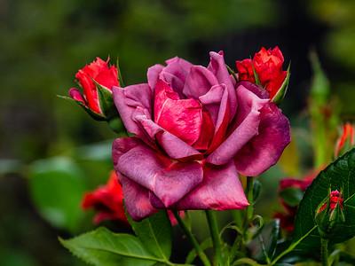 8.24.2019 Wine Rose
