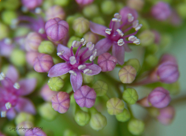 May 17 - This Lacecap Hydrangea is getting ready to pop.