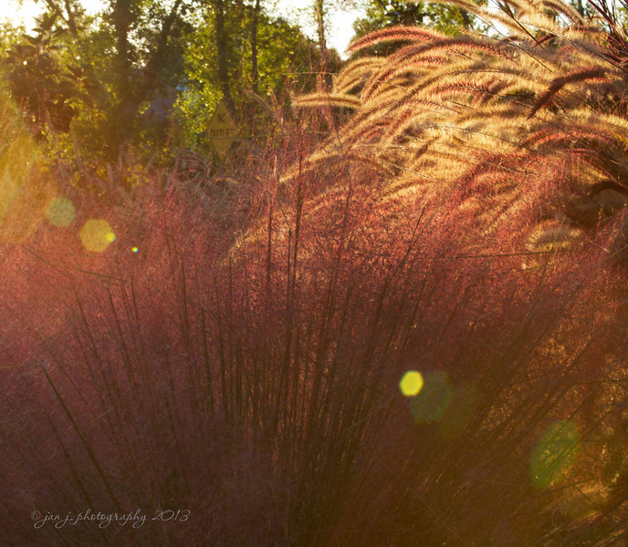 October 1 - Every time Craig & I take a late afternoon walk I see this spot where the low sun is shining through the wispy stalks...today I finally took time to take a picture.