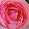 January 2 - My favorite...pink roses