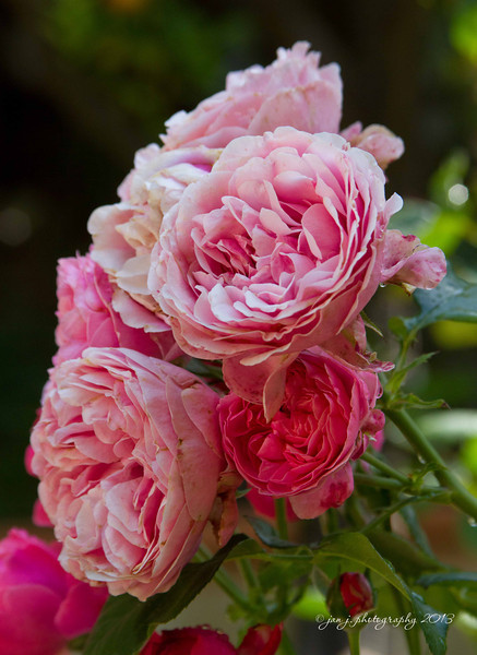 May 29 - I spent the morning with the South County Photo Club at Rancho Las Lomas which was overflowing with my favorite roses.
