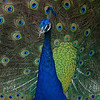 December 18 - Today's Photo Club outing took us to Leo Carrillo Ranch where the peacocks made great models.