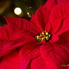 December 8 - Red Poinsettias...I never have enough.