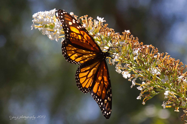 August 4 - Caught one of the Monarch Butterflies open today.