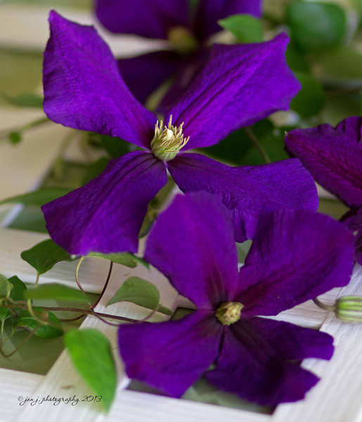 May 8 - It has taken many years for this Clematis vine to mature and produce a good crop of these beautiful blooms...patience pays off.