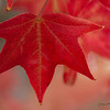 November 19 - Theme for the day is RED...I could not resist another red leaf shot.