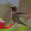 May 1 - We have more and more hummingbirds everyday.