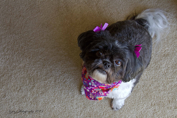 August 16 - Lexi...the little diva dog home from the groomers.