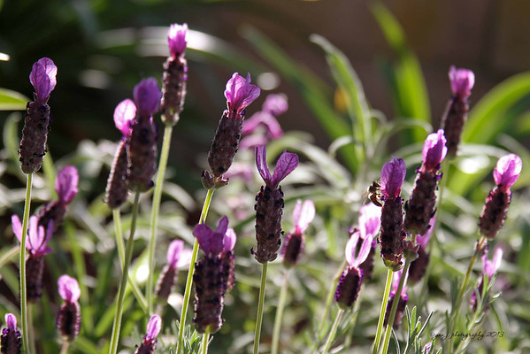 April 18 - I love the way the sun shines through my Spanish Lavender in the late afternoon.
