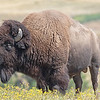 July 29 - It was a very good day on the National Bison Range...<br /> <br /> National Bison Range<br /> Charlo, MT