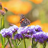 March 29 - The great Painted Lady Butterfly is just about over, but there are still a few stragglers that come to visit.