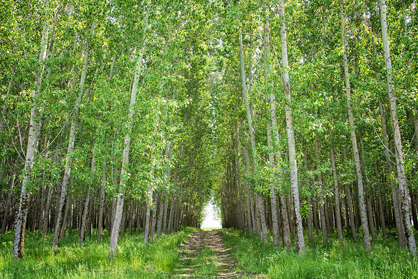 May 31 - A path through the Poplars...Honestly, I can hardly wait to come here in the fall.<br /> <br /> Hayden, ID