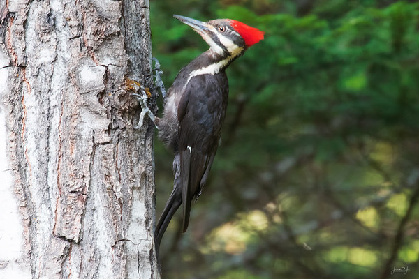 July 17 - I'm beginning to learn about the birds that visit my backyard. This is a Pileated Woodpecker...a female.  #CY365 - Contrast