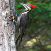 July 17 - I'm beginning to learn about the birds that visit my backyard. This is a Pileated Woodpecker...a female.<br /> <br /> #CY365 - Contrast