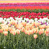 April 29 - Rows of color from the Tulip Festival...<br /> <br /> Wooden Shoe Tulip Farm<br /> Woodburn, OR