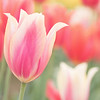 March 12 - Time for Tulips...