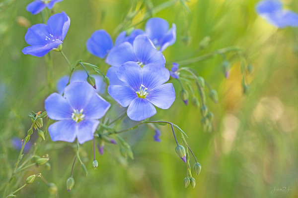 June 7 - Blue Flax... #FlowersForFriday
