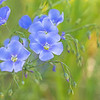 June 7 - Blue Flax...<br /> #FlowersForFriday