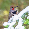 October 10 - I spy in my backyard...a Northern Flicker