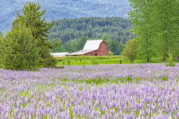 May 28 - It's Lupine season here in North Idaho...  Kootenai, ID