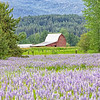 May 28 - It's Lupine season here in North Idaho...<br /> <br /> Kootenai, ID
