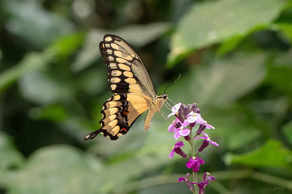 August 4 - Swallowtail Sunday Brunch...  #CY365 - Movement