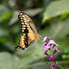 August 4 - Swallowtail Sunday Brunch...<br /> <br /> #CY365 - Movement
