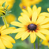 August 7 - I love it when the Rudbeckia is in bloom...