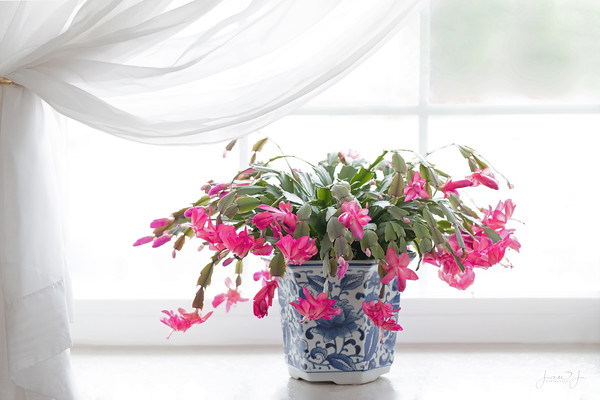 January 24 - My Christmas Cactus is late...but spectacular.<br /> <br /> #CY365 - Morning Light