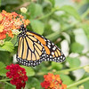 April 13 - Sayonara Monarch Butterflies.  I'll have to wait and see if you make it all the  up to North Idaho...<br /> <br /> #CY365 - It's in the Details