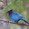 November 2 - Day 2 of 30 Days of Thankfulness. I am so thankful for the color blue and for the stunning Steller Jays that hang out in my backyard...God makes cool stuff!<br /> <br /> #CY365 - Balance