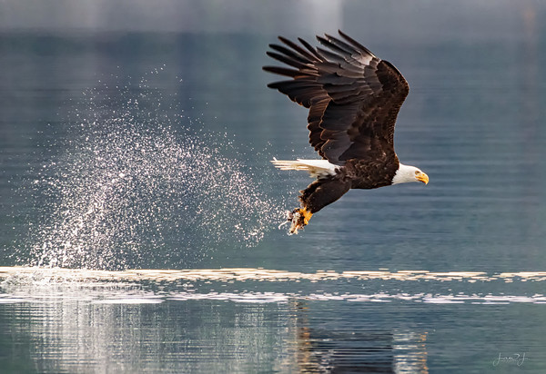 November 19 - Day 19 of 30 Days of Thankfulness. I'm thankful that as I sit and watch these eagles, I have the opportunity to get acquainted with other local photographers.<br /> <br /> #CY365 - Blur the Background/Panning