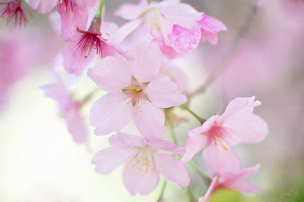 March 22 - The Cherry Blossoms continue...