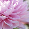 September 13 - Layers of pink...<br /> <br /> #FlowerFriday