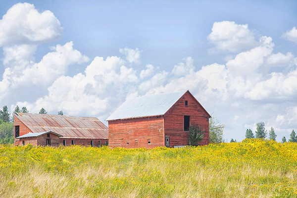 August 14 - I love this old barn just down the road. The wild flowers have bloomed and I've been waiting for a good cloud day...I don't have to wait long here.  #CY365 - Dated