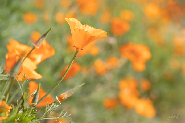March 10 - So thankful for all of our rain this year,  because of it our California Poppy season is exceptional...