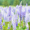 May 29 - Loving the Lupines...<br /> <br /> Kootenai, ID