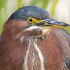 January 7 - You never know what you'll see at the mission.  Today there was a Green Heron vacationing in the fountain...<br /> <br /> #CY365 - Off Prompt<br /> Mission San Juan Capistrano