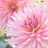 September 3 - A morning at the Dahlia Farm...<br /> <br /> Swan Island Dahlias<br /> Canby, OR