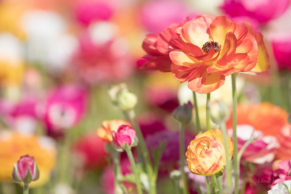 March 25 - Something to brighten your Monday...<br /> <br /> The Flower Fields 2019<br /> Carlsbad, CA