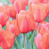 March 21 - Tulips make this Dutch girl's heart happy...<br /> <br /> Descanso Gardens