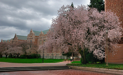 27 Feb 2010: A cherry tree at the University of Washington. They're in bloom all over the city. Another HDR image, a little more dramatic than yesterday's.